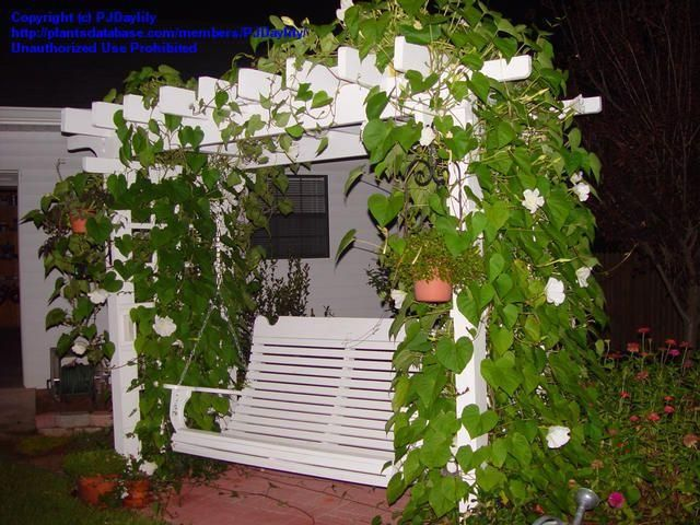 ipomoea moonflower | ... #15 of Moonflower, Moon Vine, Giant White Moonflower (Ipomoea alba