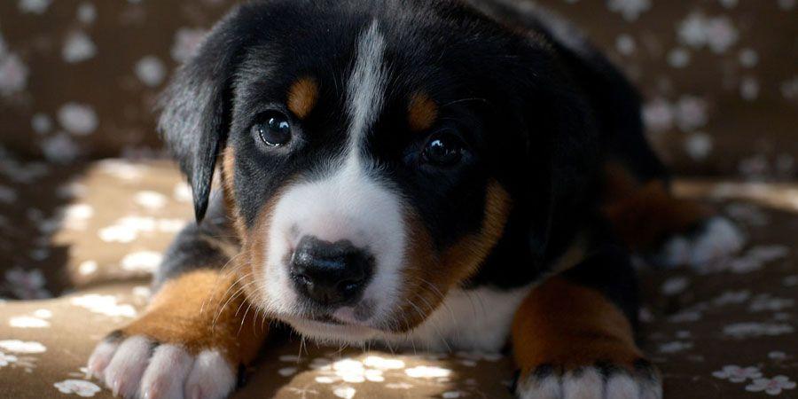 Appenzeller Sennenhund Wild Dogs Dogs Dog Breeds