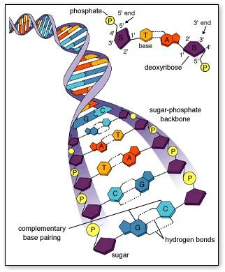 Estructura De L Adn Biología Celular Biologia Molecular Y