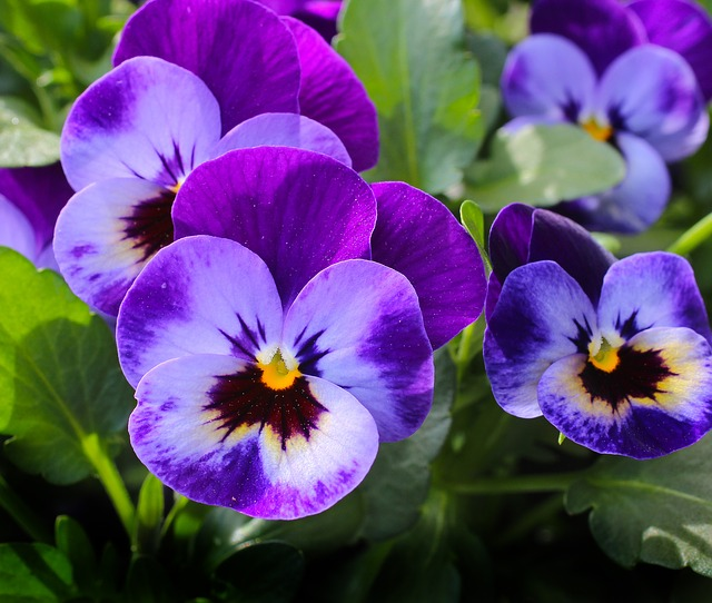 9 Beautiful Ornamental Plants You Can Eat The Grow Network Pansies Flowers Easy To Grow Flowers Pansies