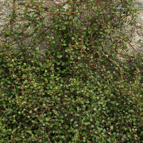muehlenbeckia complexa couvre sol de terrains drain s ou caillouteux pas trop secs vigoureux. Black Bedroom Furniture Sets. Home Design Ideas