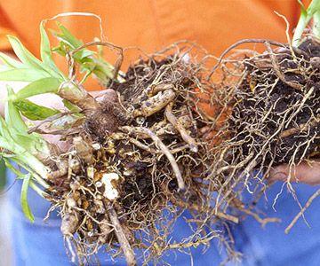 Divide Overgrown Perennials