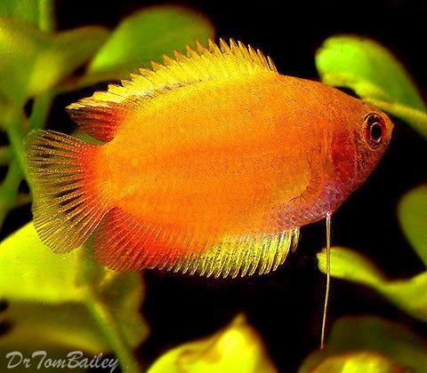 Gourami For Sale Aquariumfish Net Aquarium Fish Tropical Fish Fresh Water Fish Tank