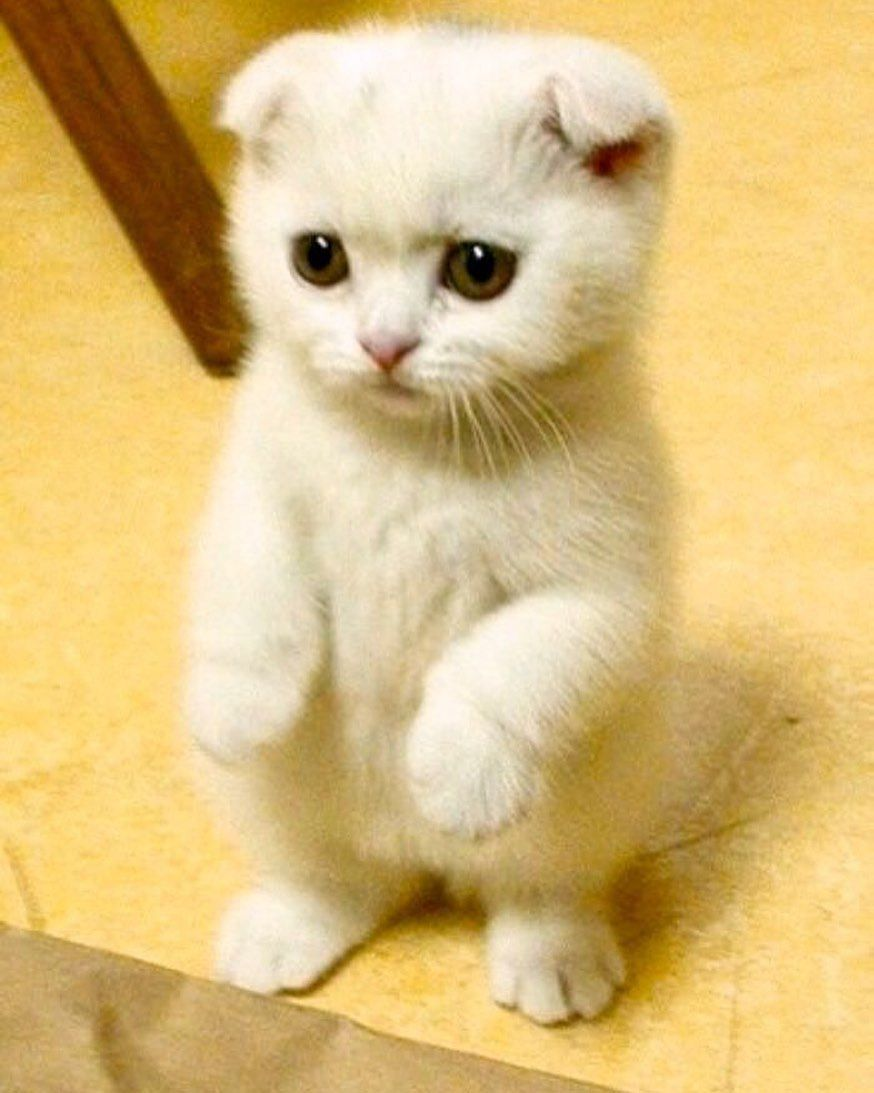 Scottish Fold Are Too Precious Cat Cutecat Cute Fluffy Fluff Fluffycat Cats Adorable Animal Scottish Fold Scottish Fold Cat White Cat Scottish Fold