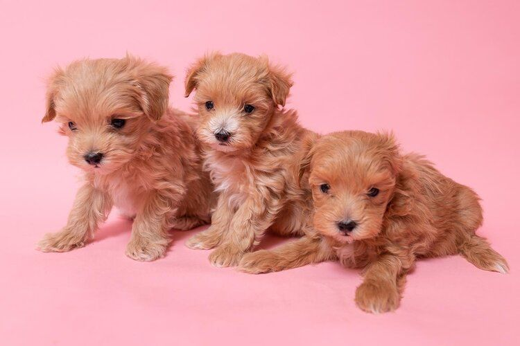 Maltese Puppies For Sale Near Me Nj 2021