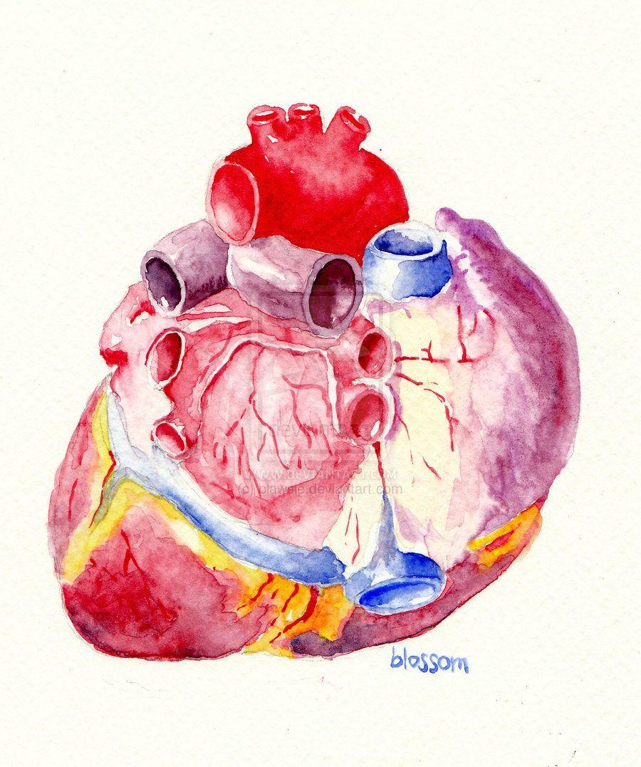 Heart (posterior view) by blawsie on deviantART   Heart ...