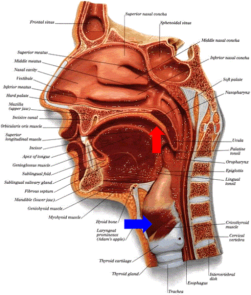 Throat Anatomy Image | SLP | Pinterest | Anatomy, Speech therapy and ...