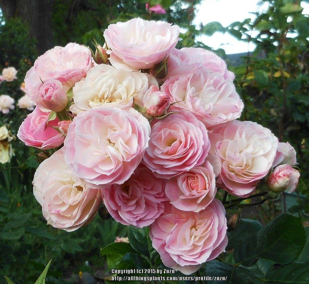 rose bouquet parfait lens google search les roses de mon jardin pinterest rose bouquet. Black Bedroom Furniture Sets. Home Design Ideas