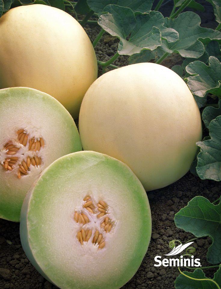 Una muestra de nuestros melones honeydew en el campo…