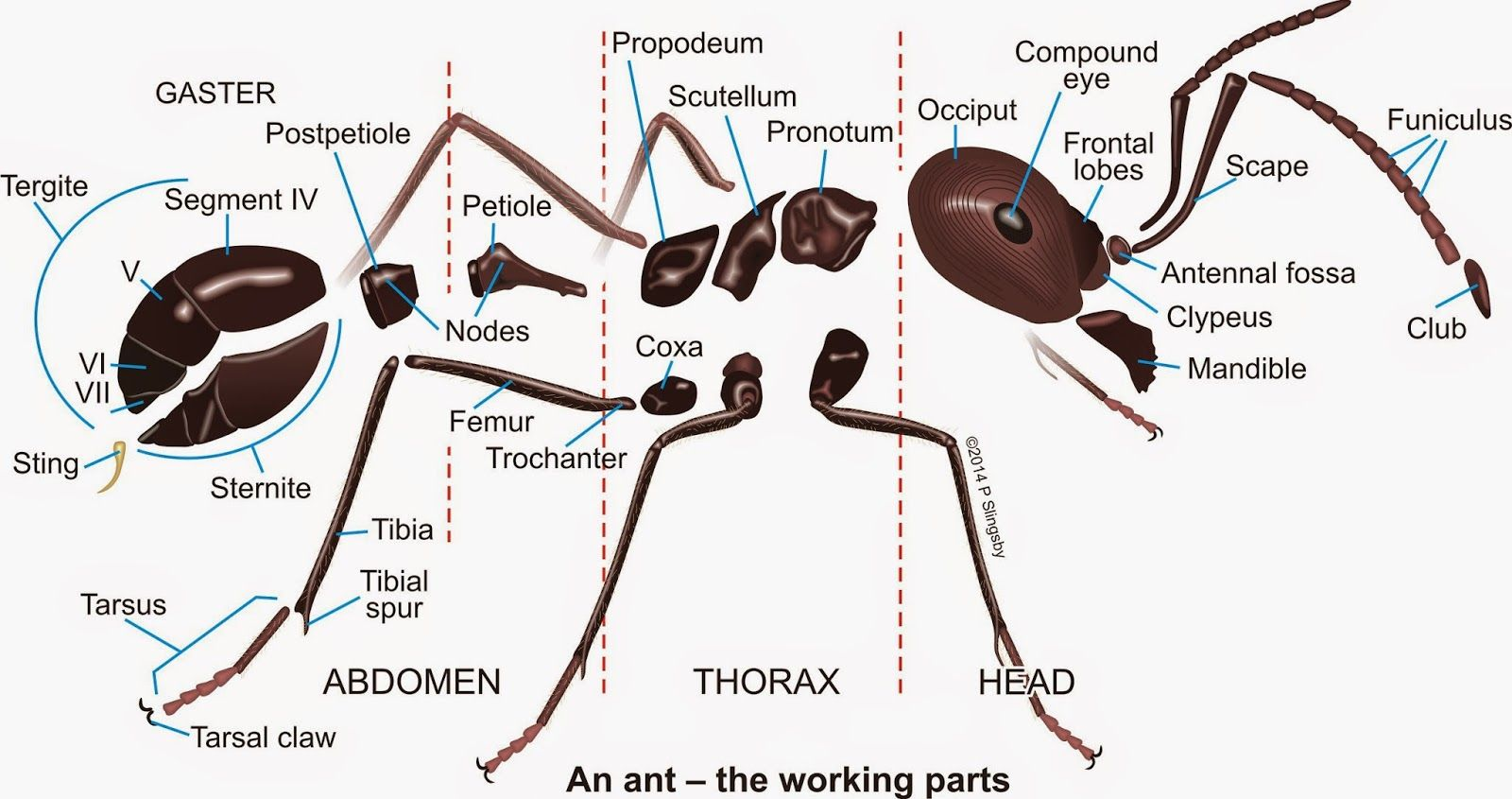 Ant Parts Diagram Domestic Wiring Diagrams 43moving 43parts Jpg 1600845 Anatomy Pinterest
