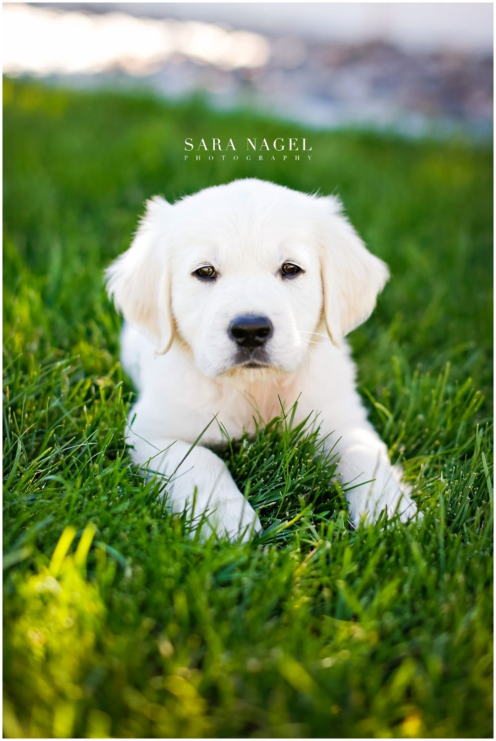 English Golden Retriever Puppy Dog Photographer in