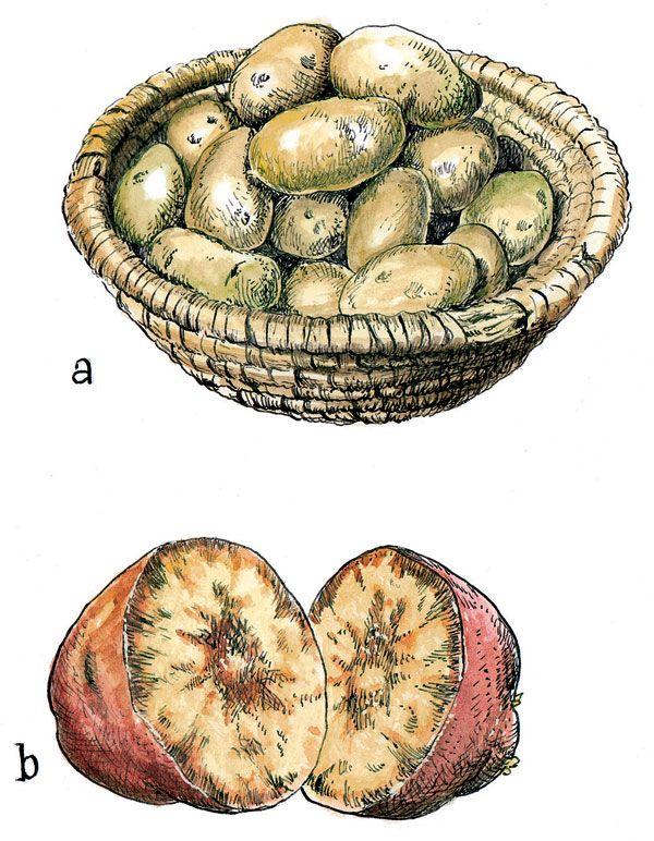 Na zimu treba skladovať iba zdravé zemiaky 5