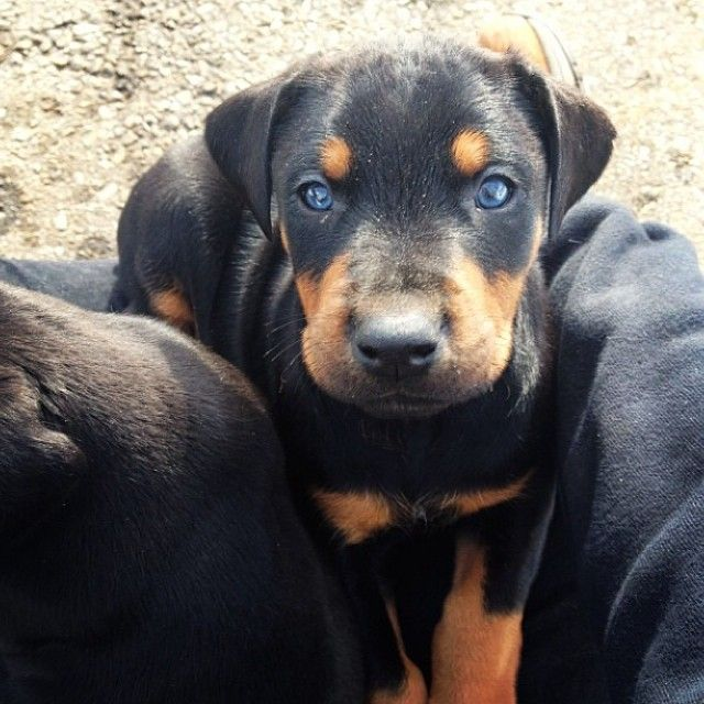 Baby Blue Eyes Doberman Junior Follow On Ig Dreandjunior