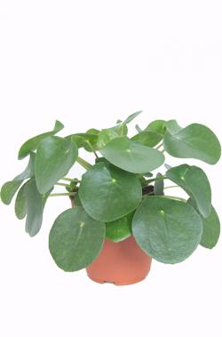 Kamerplanten Kopen Amsterdam.Pilea Peperomioides Pannenkoekplant P 12 Cm Crazy About Plants
