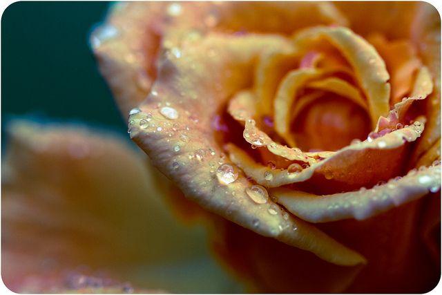 Rósir by Dóra B., via Flickr