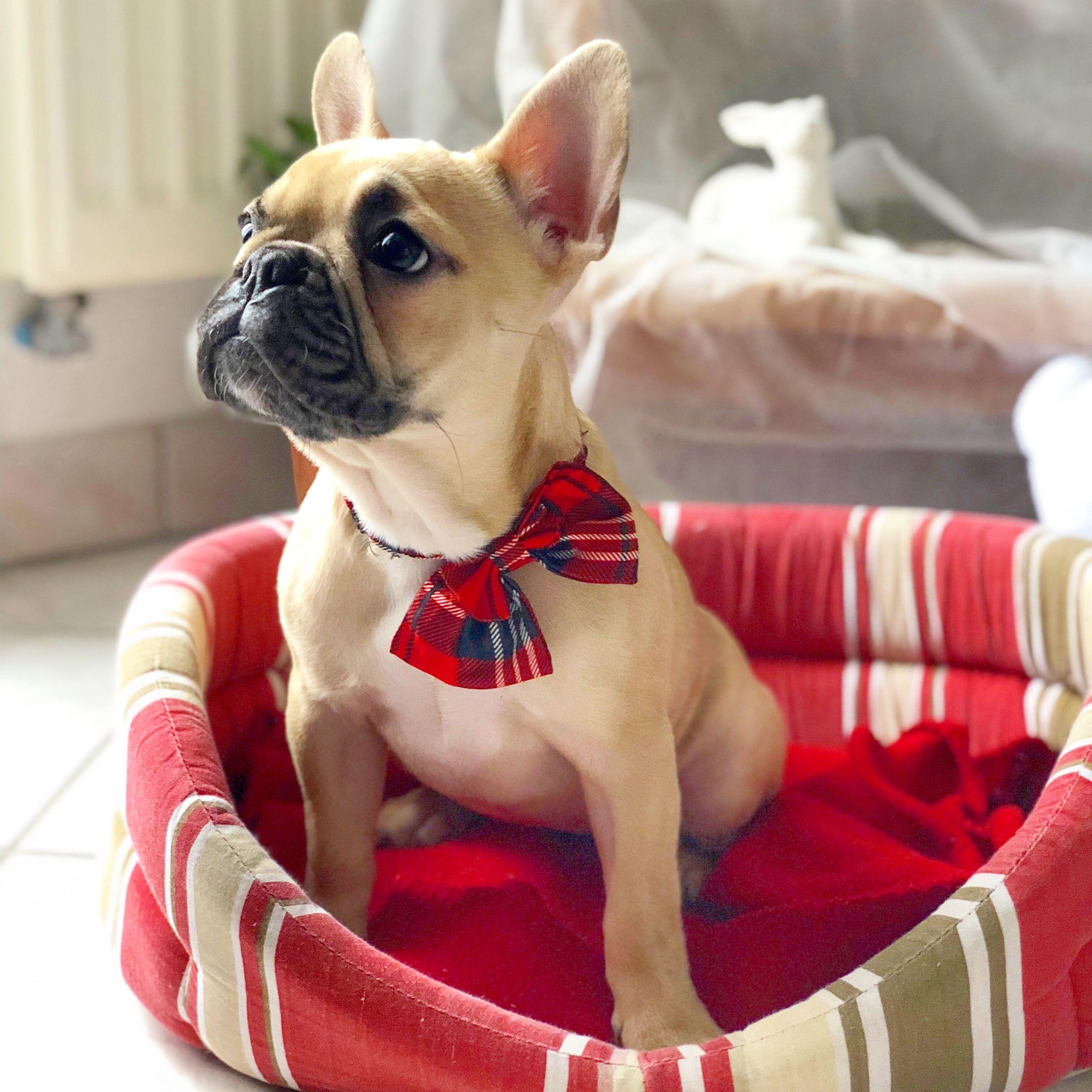 French Bulldog Christmas !! French bulldog puppies