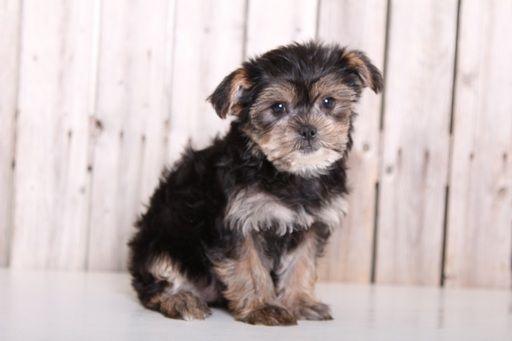 Shorkie Tzu Puppy For Sale In Mount Vernon Oh Adn 33150 On Puppyfinder Com Gender Female Age 10 Weeks Old Puppies For Sale Shorkie Tzu Puppies
