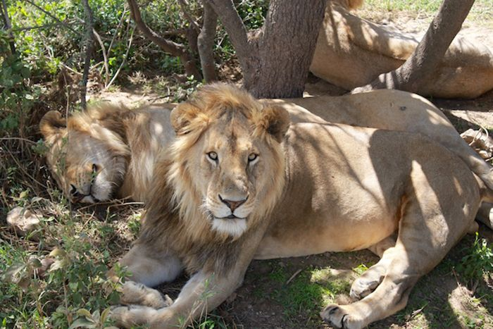 my-safari-experience-watching-lions
