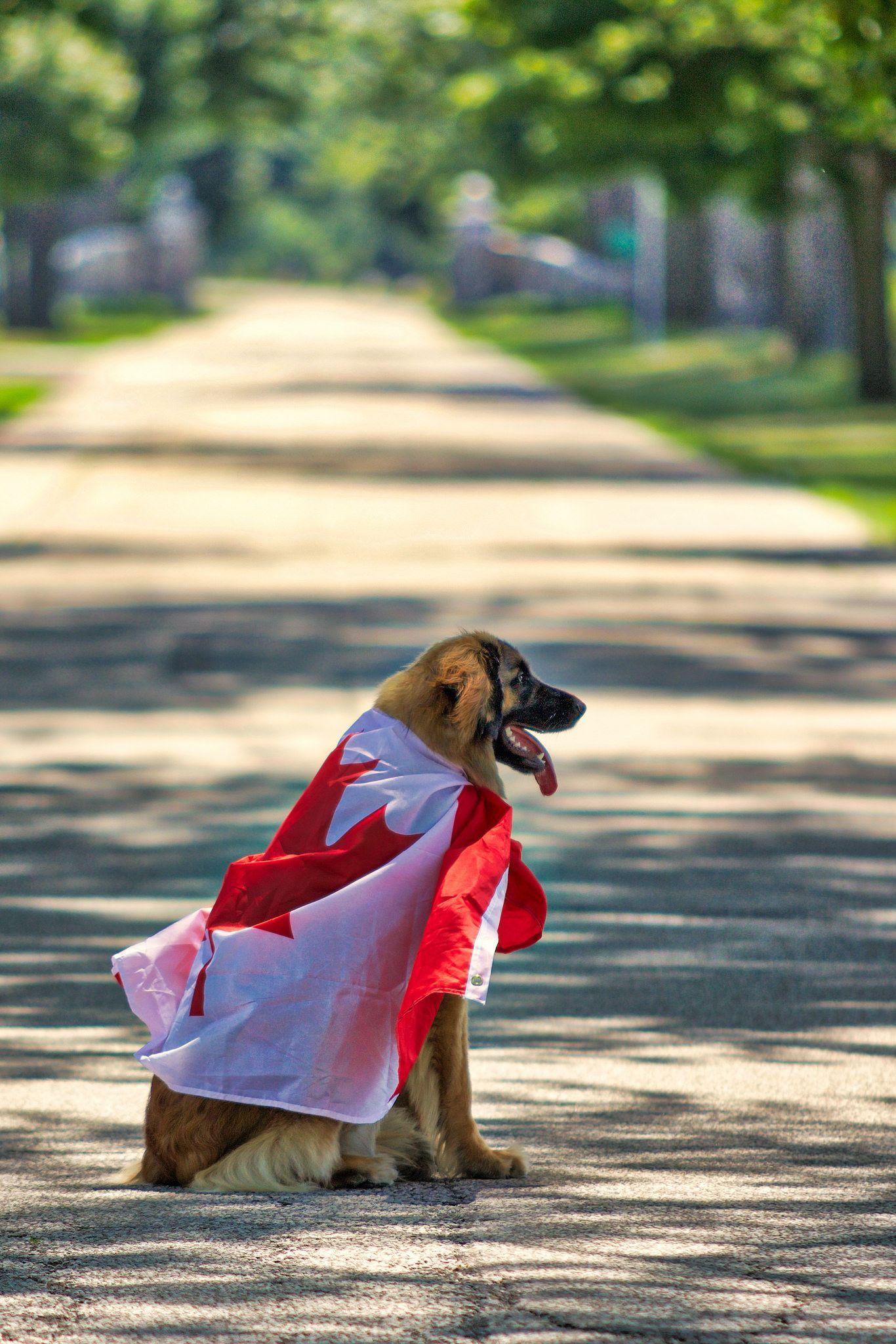 Happy Birthday Luna Leonberger Dogsofinstagram Dog Leonbergersofinstagram Gentlegiant Puppy Leonbergerstyle Dogs Leo Chatham Kent
