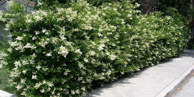 Ligustrum Recurvifolium Shrubs Privet Hedges Live Plants