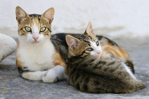 Calico Aegean Cat