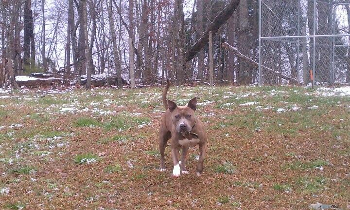My Kronic Playing In The Snow Pitbulls Animals Snow