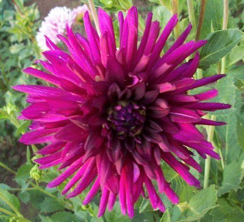 Oreti Sarah Dahlias By Flower Name Flower Names Long Lasting Flower Dahlia