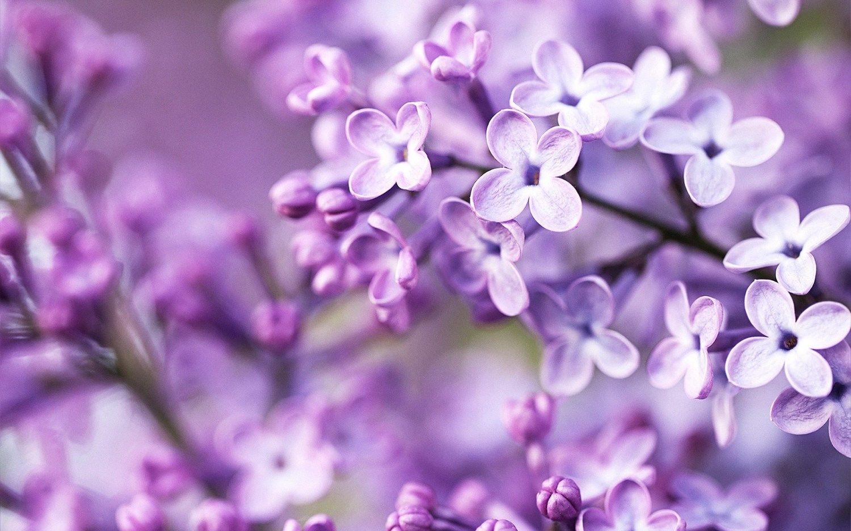 Purple Lilac Flower Wallpaper My Style Pinterest Flower