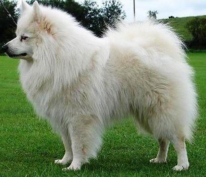 Grossspitz Giant Spitz White Germany Animals Dog Breeds Dogs