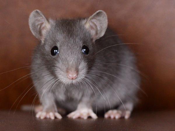 Russian blue rat ♥ | Rats | Pinterest | Russian blue, Rats ...