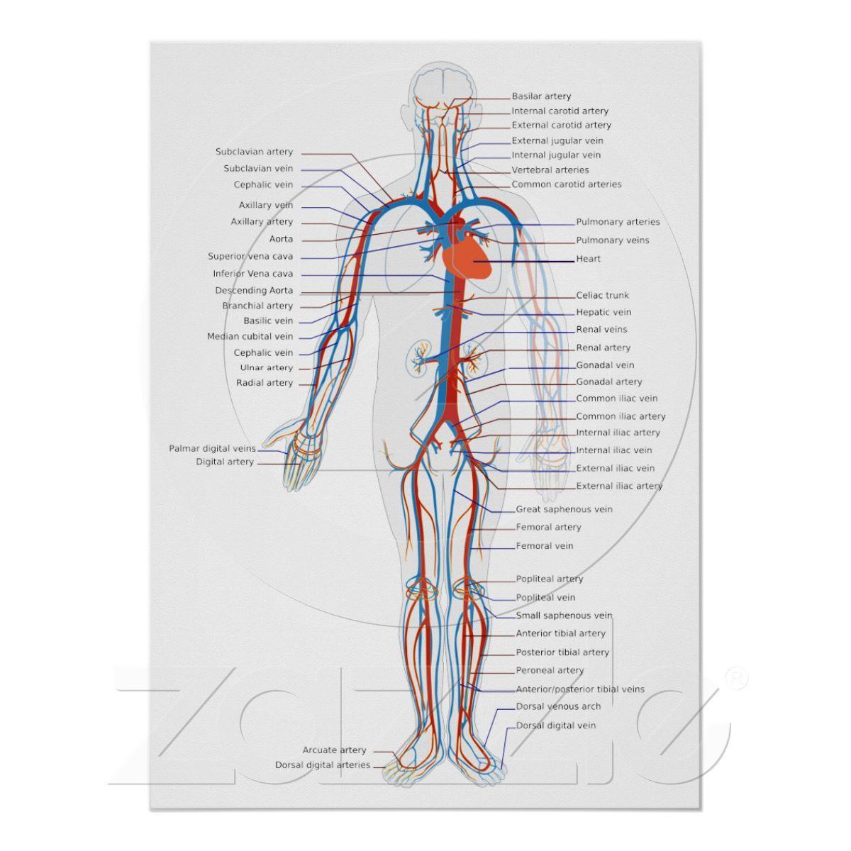 Human Circulatory System Anterior View Diagram Poster   Zazzle.com ...