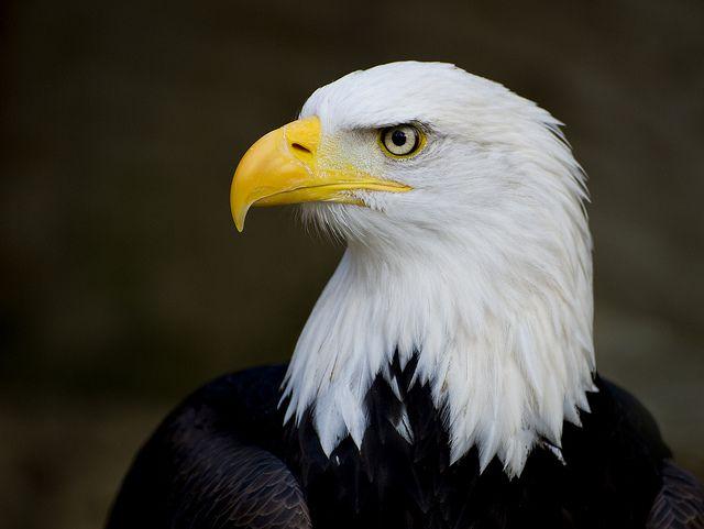 Eagle - eye see you. by Saffron Blaze, via Flickr