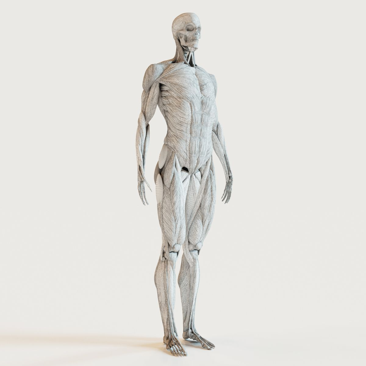 Muscles And Skeleton This Royalty Free 3d Model Or Texture Is
