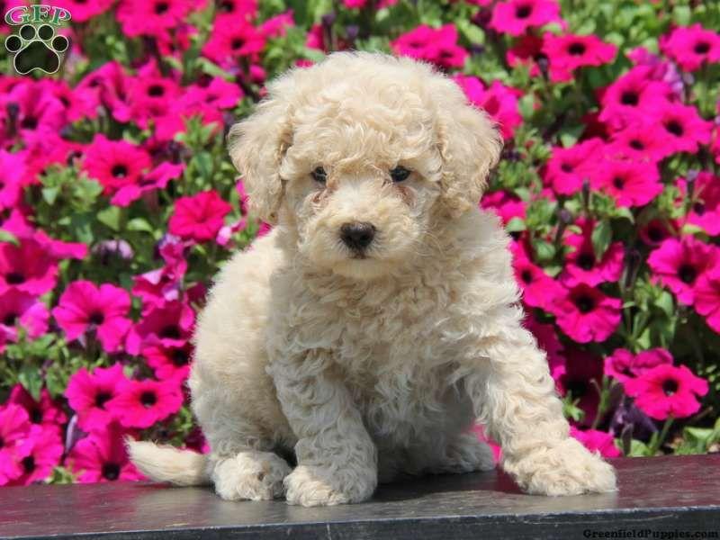 Crocket Bich Poo Puppy For Sale From Narvon Pa Baby Animals Puppies Animals