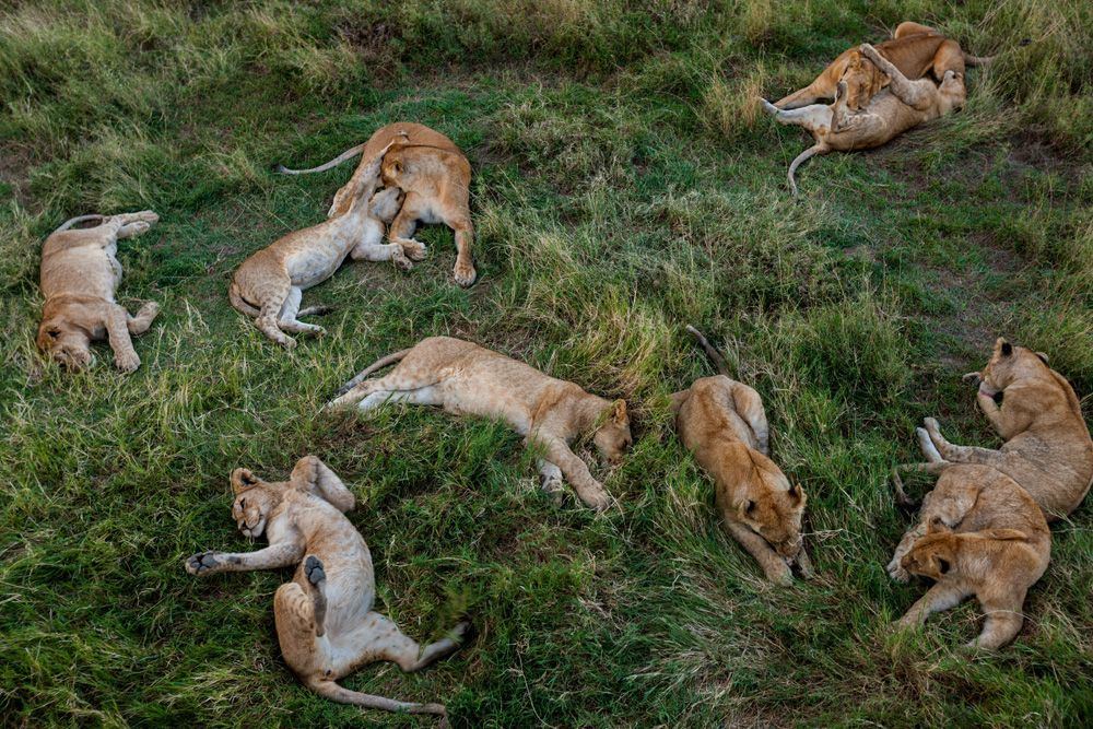 What does the Endangered Species Listing Mean for Lions