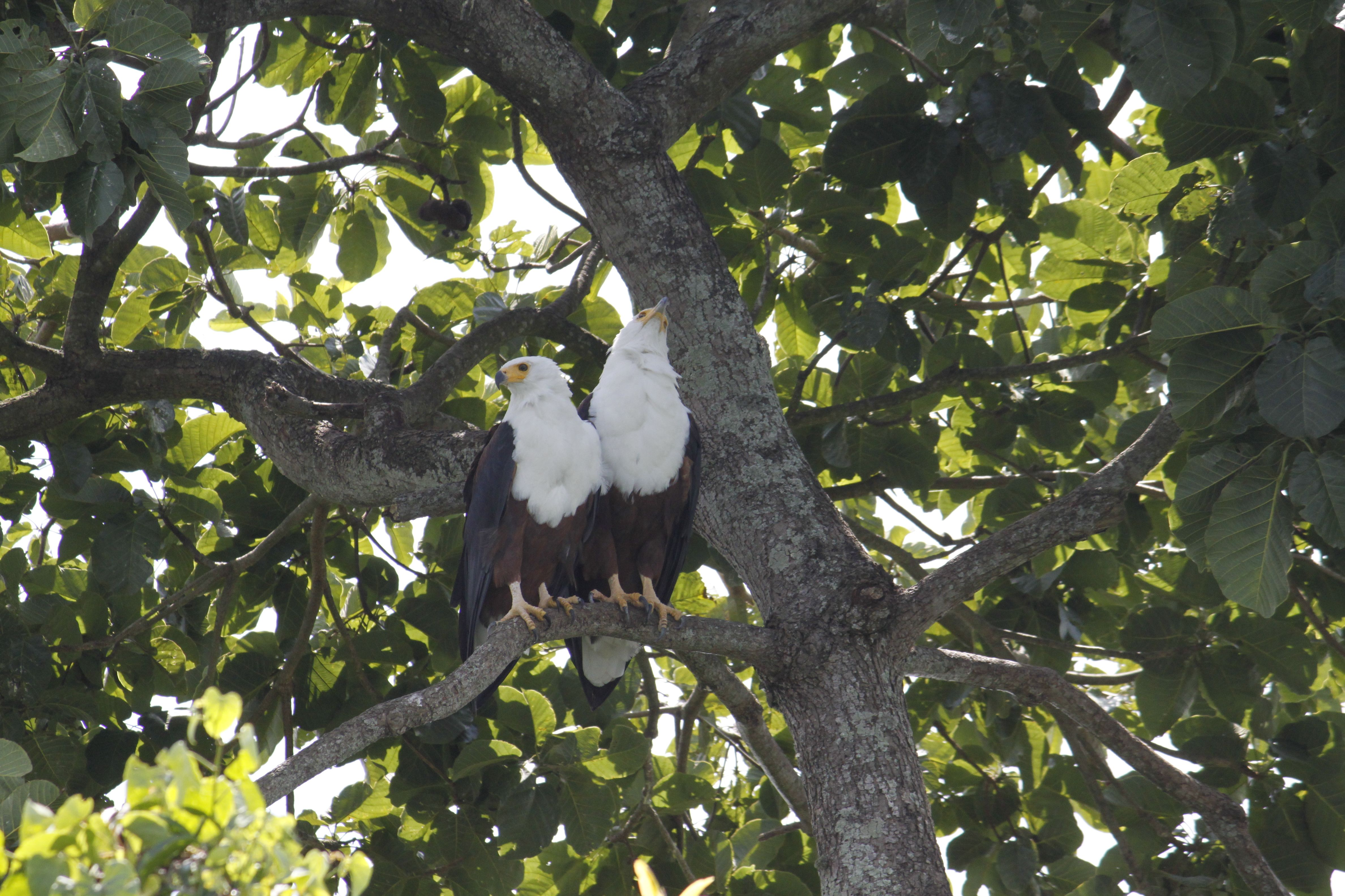 African fish Eagles by the banks of river Nile on a tree.