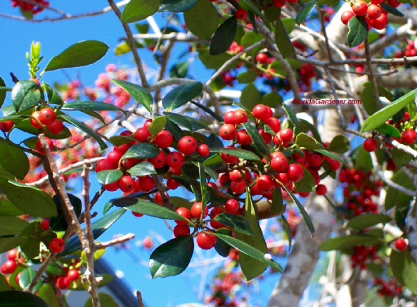 Dahoon Holly Ilex Cassine Understory Tree Wildlife Attractor Holiday Decorations Farmers Market Flowers Small Yellow Flowers Small Ornamental Trees
