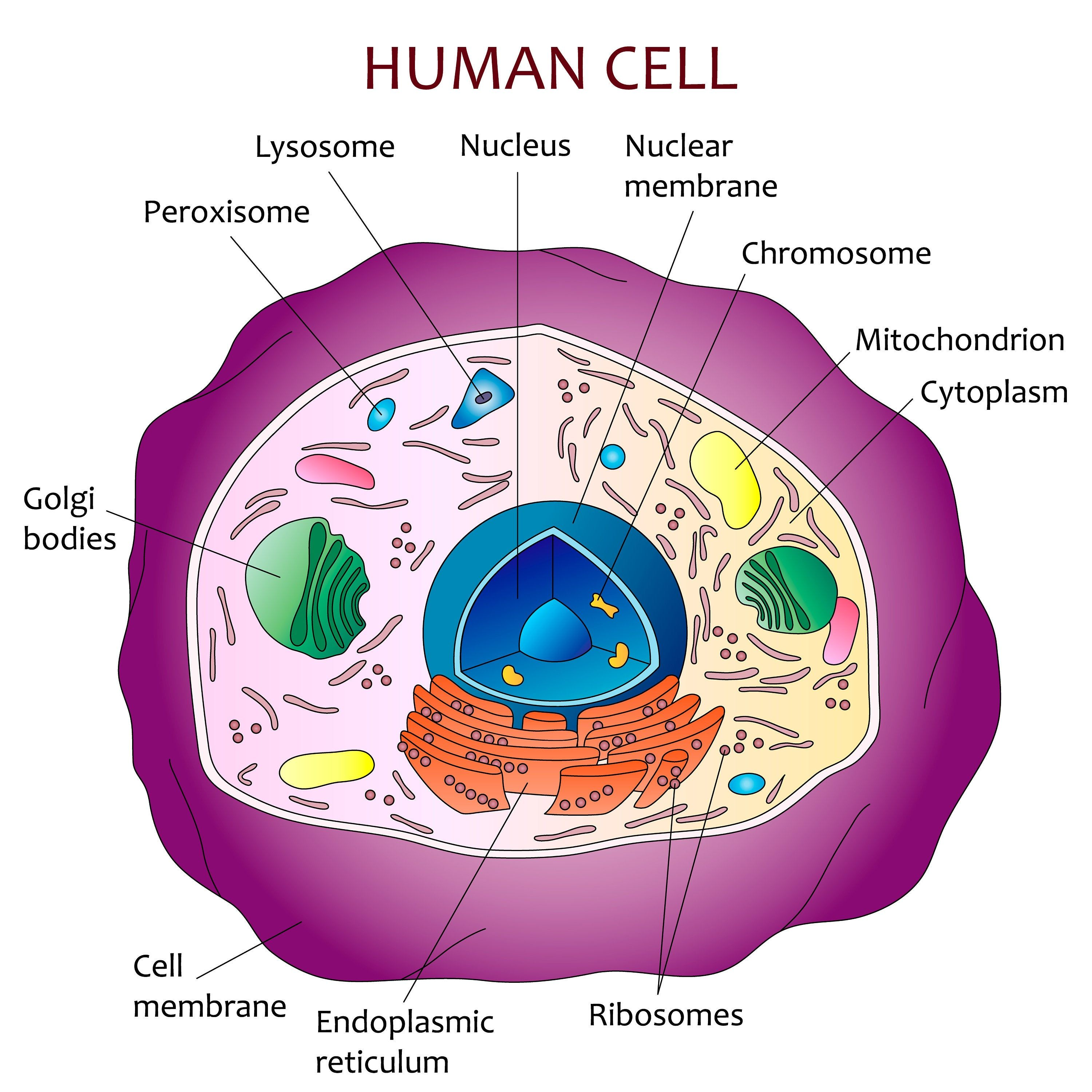 Human Cell Diagram Etsy In 2021 Human Cell Diagram Cell Diagram Human Cell Structure [ 3000 x 3000 Pixel ]