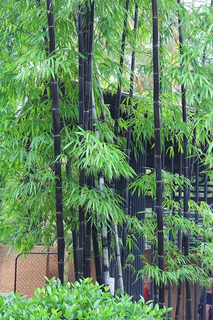 Bambusa Lako Timor Black Bamboo Bamboo Landscape Bamboo Garden Bamboo Plants