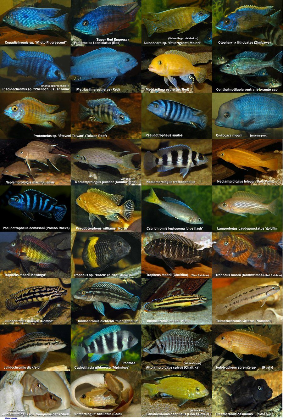 African Cichlids Poster Freshwater Yea I Have Literally Had Each Of These Fish In This And Still A Few To Day Love