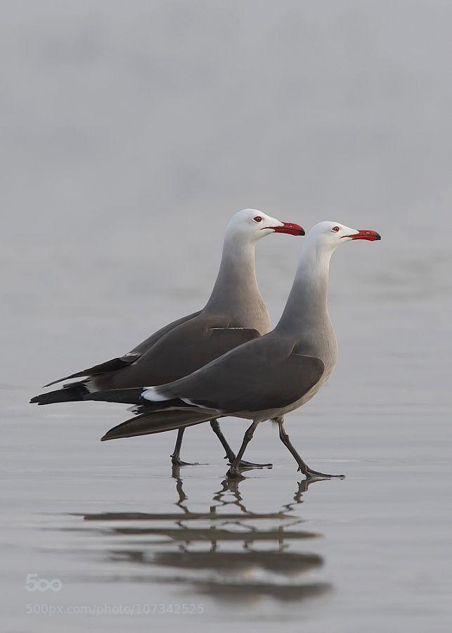 Thefullerview Pet Birds Beautiful Birds Gull