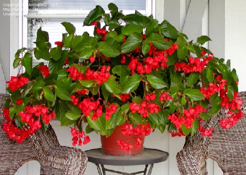 Pin By Malmborg S Garden Center On Impatiens Alternantives Fresh Flowers Arrangements Plants Begonia Dragon