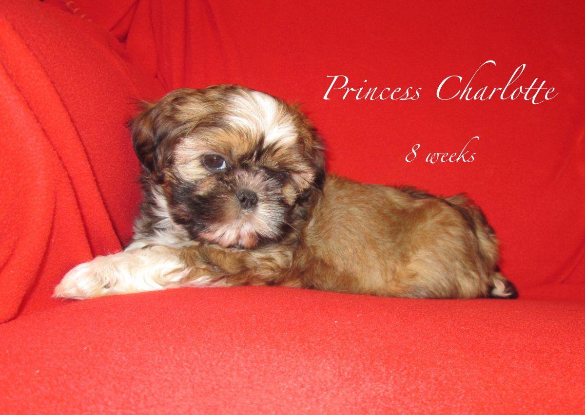 Shih Tzu Puppies For Sale In Pennsylvania Shih Tzu Puppy