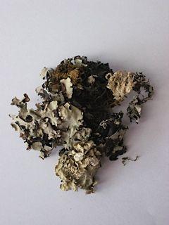 Parmotrema perlatum- Kalpaasi- or Black Stone Flower. This ... Black Stone Flower