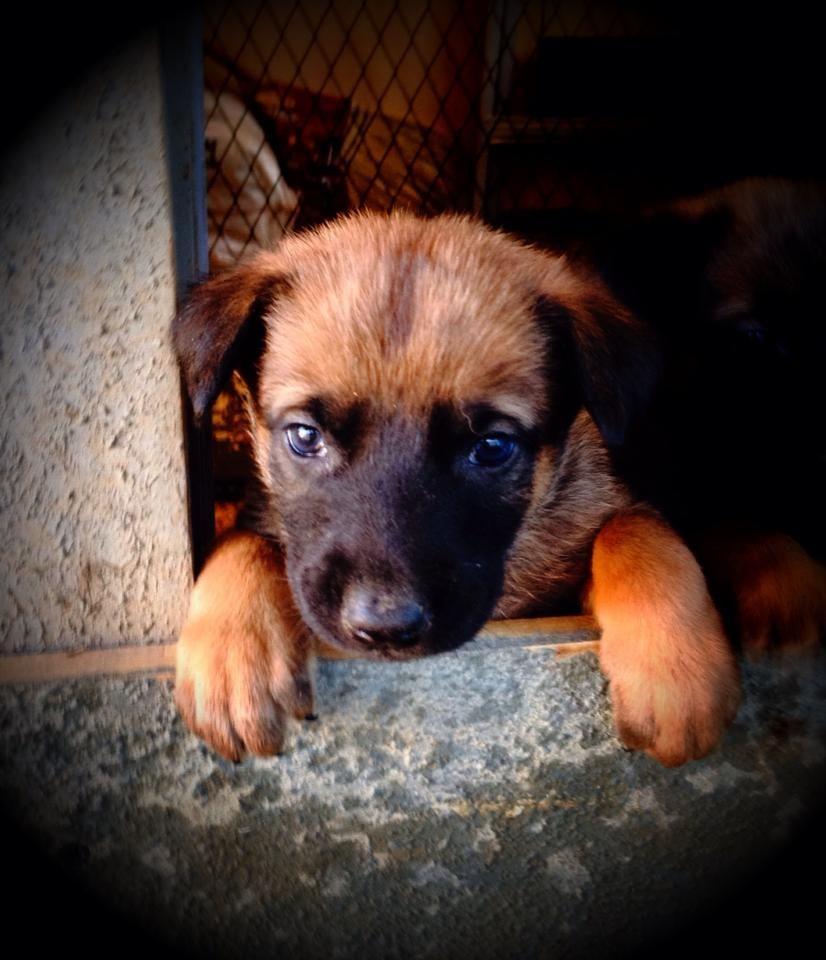 Www Wolfsbanek9 Com Belgian Malinois Puppy Belgian Malinois Puppies Belgian Malinois Dog Malinois Puppies