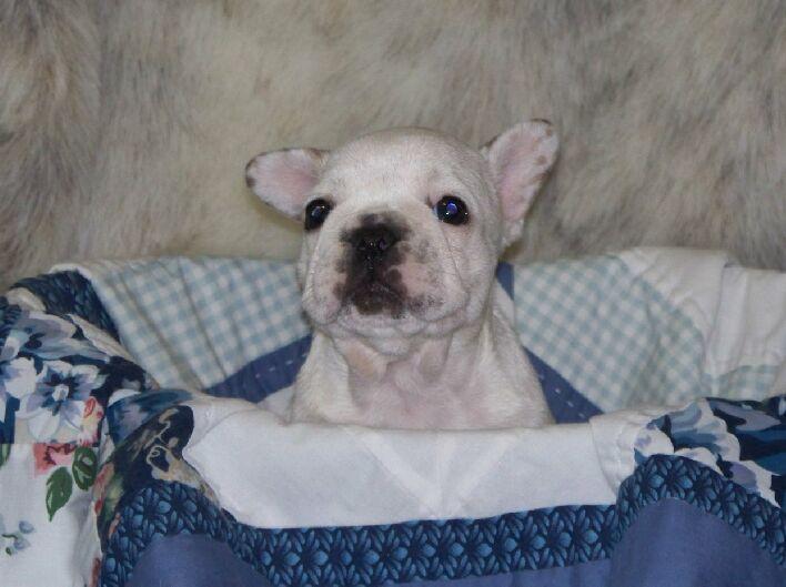 French Bulldog Puppy For Sale In Lynchburg Va Adn 30228 On