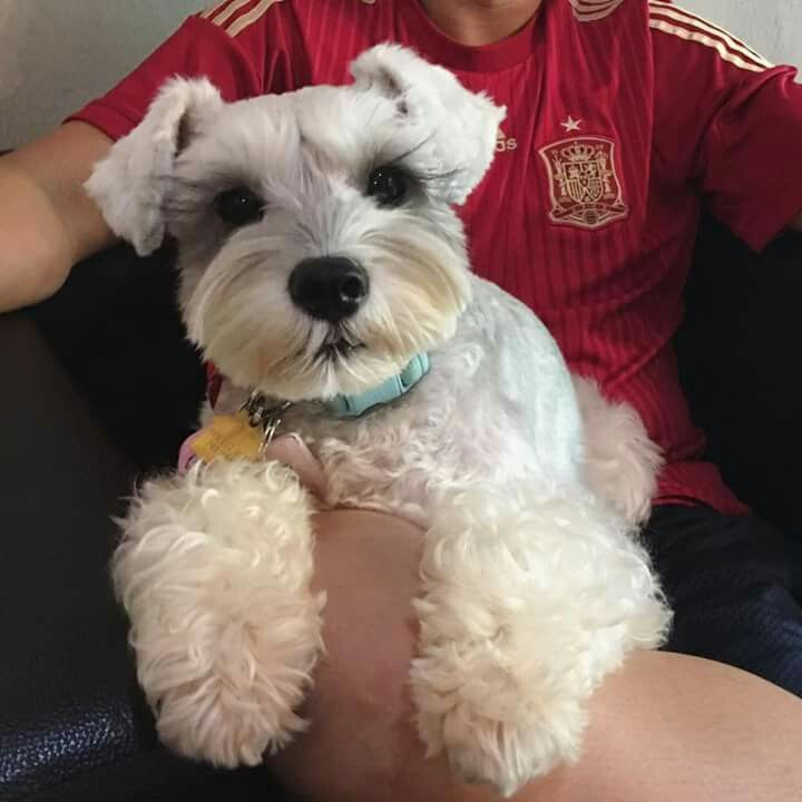 Looking for male schnauzer to breed