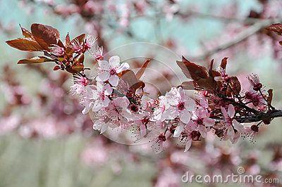 Cherry Tree Blossom Symbol Of Japanese Culture Cherry Tree Japanese Culture Tree