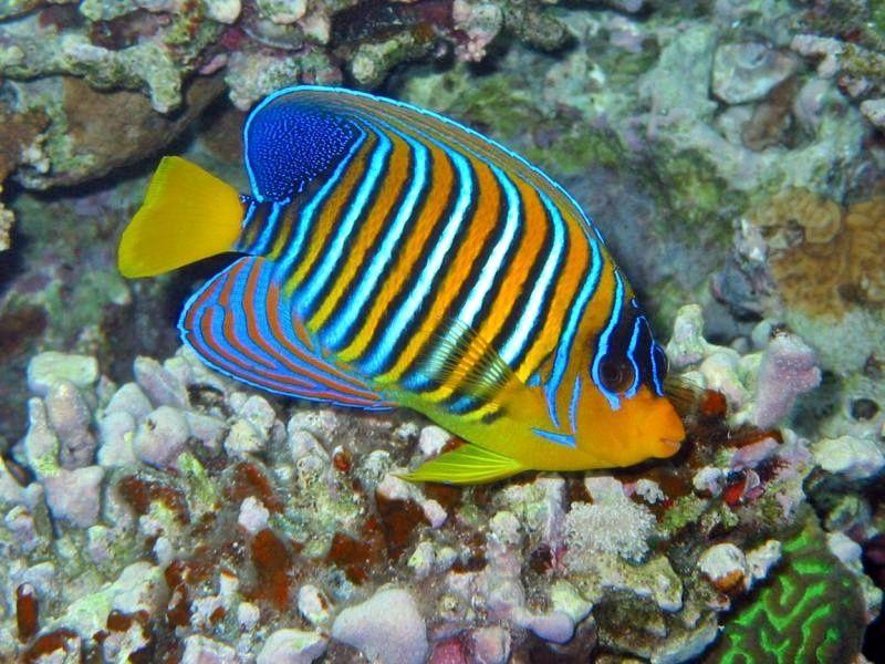 Gambar  Ikan  Hias Air Laut Yang Mudah  Dipelihara Ikan