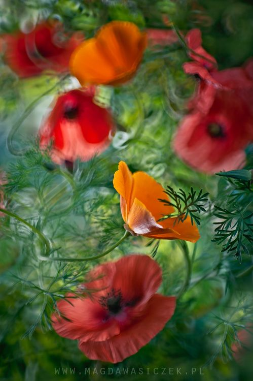 Poppies dance by Magda Wasiczek on 500px